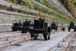 Robots et fraisiers